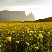 Das Blumenmeer der Seiser Alm